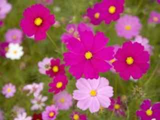 雏菊花粉色雏菊花花团景簇桌面壁纸