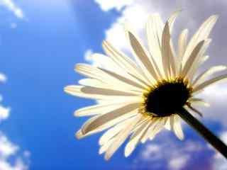 雏菊花白色雏菊在阳光照射下桌面壁纸