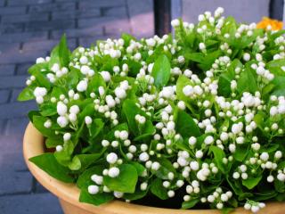 纯洁白色花朵之茉莉花高清桌面壁纸3