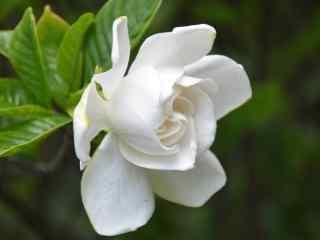 纯洁白色栀子花高