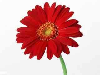 雏菊花红色雏菊花品种桌面壁纸