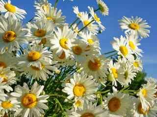 纯白色小花雏菊高清电脑桌面壁纸