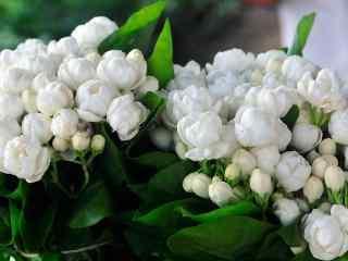 纯洁白色花朵之茉莉花高清桌面壁纸