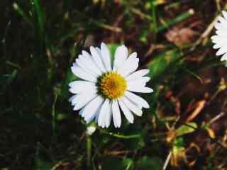 雏菊花白色雏菊唯美桌面壁纸