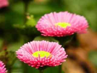 雏菊花粉色雏菊花品种桌面壁纸