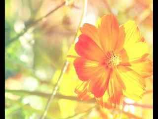 雏菊花黄色雏菊花品种桌面壁纸