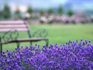 薰衣草和公园长椅唯美桌面壁纸