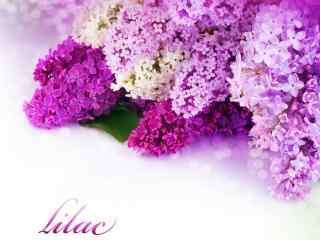 薰衣草花卉装饰桌面壁纸