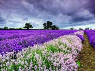 薰衣草花田紫色和