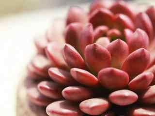 多肉植物梦露品种桌面壁纸