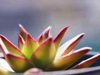 多肉植物唯美侧面近距离特写桌面壁纸