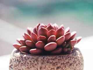 多肉植物红色唯美护眼桌面壁纸