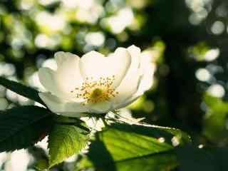 栀子花阳光下花朵的特写桌面壁纸