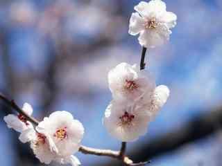 梅花傲然屹立的小白花桌面壁纸