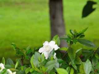 栀子花公园里盛开的栀子花桌面壁纸