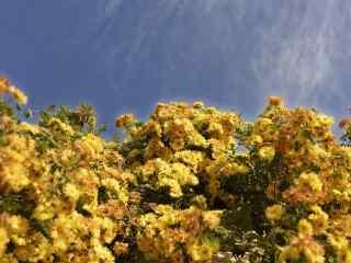 盛开的灿烂的秋菊植物壁纸