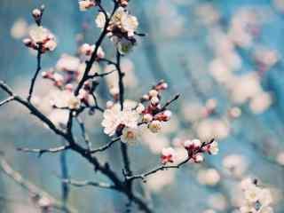梅花唯美冬日盛开桌面壁纸