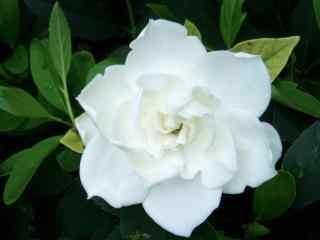 栀子花白色花朵的特写桌面壁纸