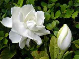 栀子花含苞待放的花骨朵桌面壁纸