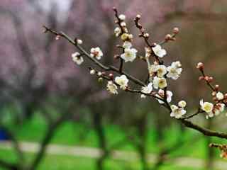 梅花冬日里倔强的花朵桌面壁纸