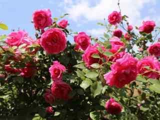 月季花粉色系花团景簇桌面壁纸