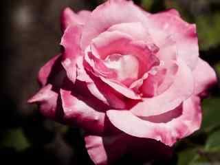 月季花粉色花朵盛开桌面壁纸