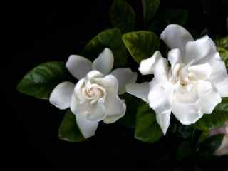 栀子花纯白色的花朵淡雅桌面壁纸