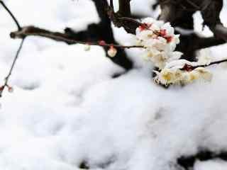梅花冬日大雪覆盖的梅花桌面壁纸