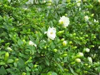 栀子花满上遍野的纯白色的花朵桌面壁纸