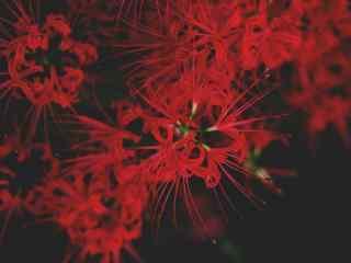 花开灿烂的美丽彼岸花桌面壁纸