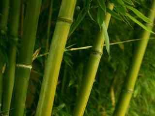 竹子竹节局部特写桌面壁纸