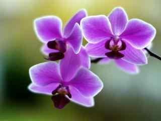 兰花紫色唯美护眼桌面壁纸