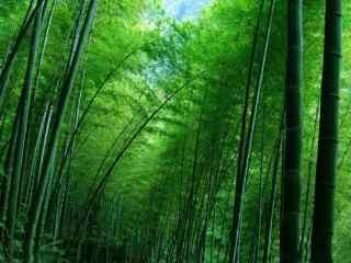 竹子护眼小清新绿色桌面壁纸
