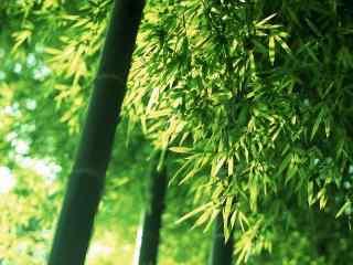 竹子绿色护眼小清新桌面壁纸
