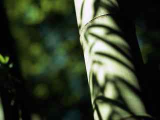 竹子光影斑驳摄影桌面壁纸