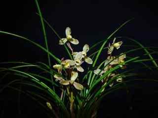 兰花斑舌兰品种桌面壁纸