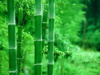 竹子翠绿雨水冲刷桌面壁纸