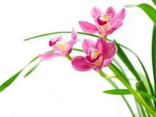 兰花美花兰品种桌面壁画