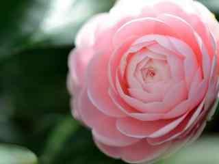 茶花粉色唯美娇艳欲滴桌面壁纸