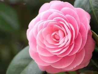 茶花粉色唯美小清新桌面壁纸