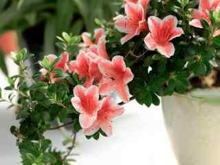 美丽的小清新花朵杜鹃花桌面壁纸