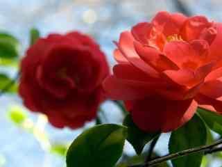 茶花大红色阳光照射桌面壁纸