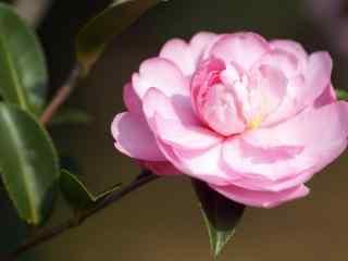 茶花粉色阳光唯美小清新桌面壁纸