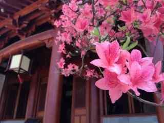 春日里的小清新美丽的杜鹃花桌面壁纸