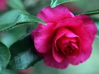 茶花玫红色盛开绿叶桌面壁纸