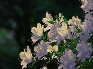 唯美夕阳下的白杜鹃花植物壁纸