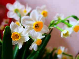 水仙花唯美小清新优雅桌面壁纸