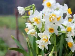 水仙花唯美小清新