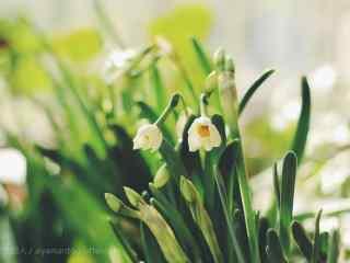 水仙花唯美小清新桌面壁纸