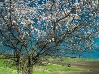 美丽杏花树风景壁纸(4张)